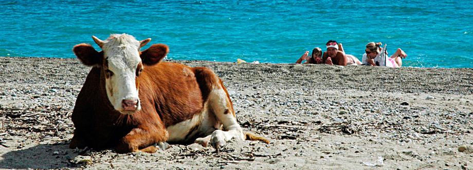 гоа корова на пляже